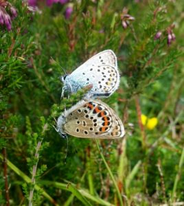 Male and female Silver-studded Blues.