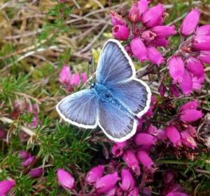 Male Silver-studded Blue butterfly on Bell Heather.